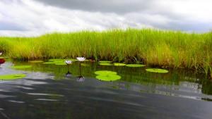 Nénuphars sur le delta