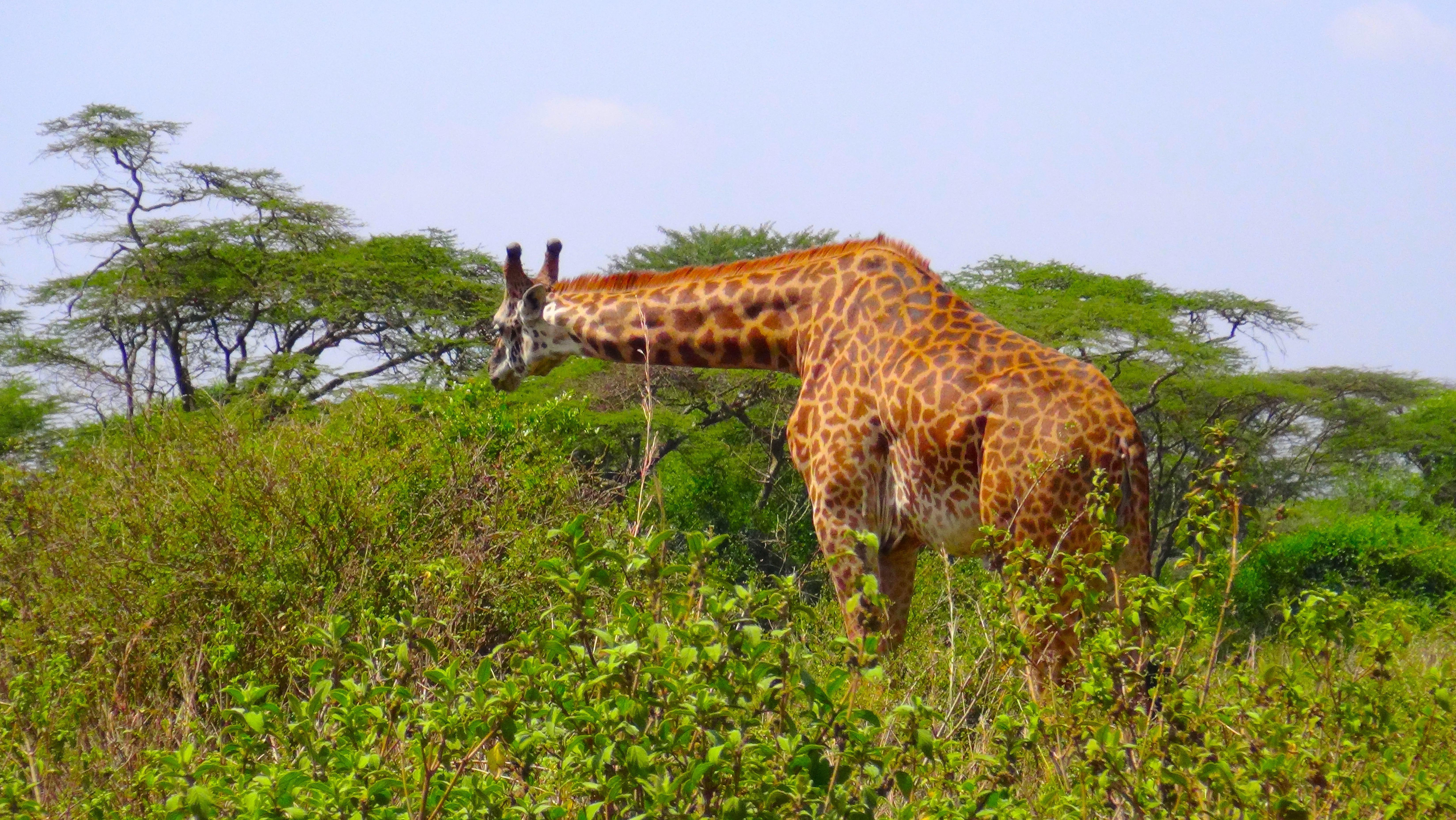 Une girafe noire