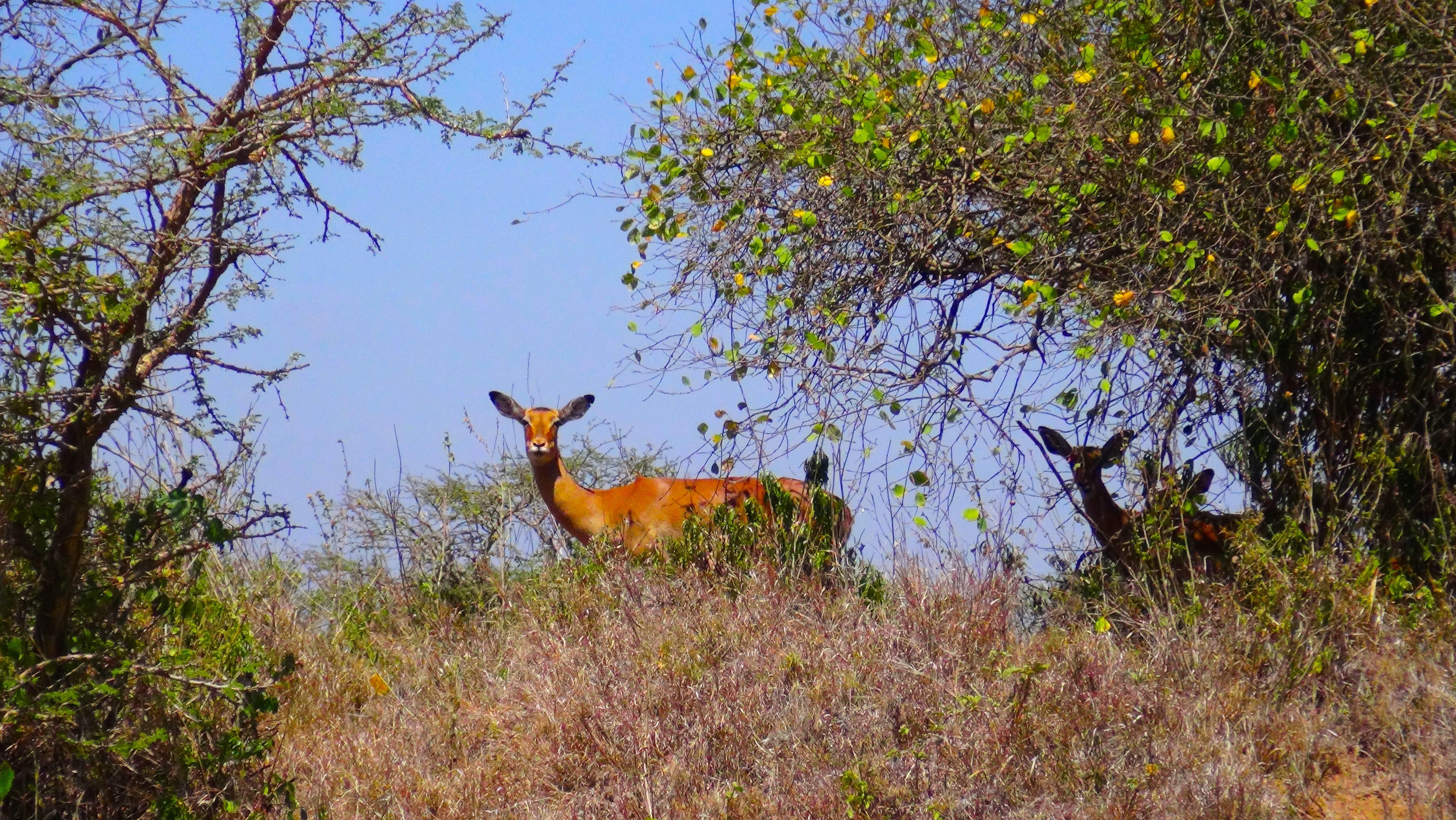 Un impala qui me fixe au loin