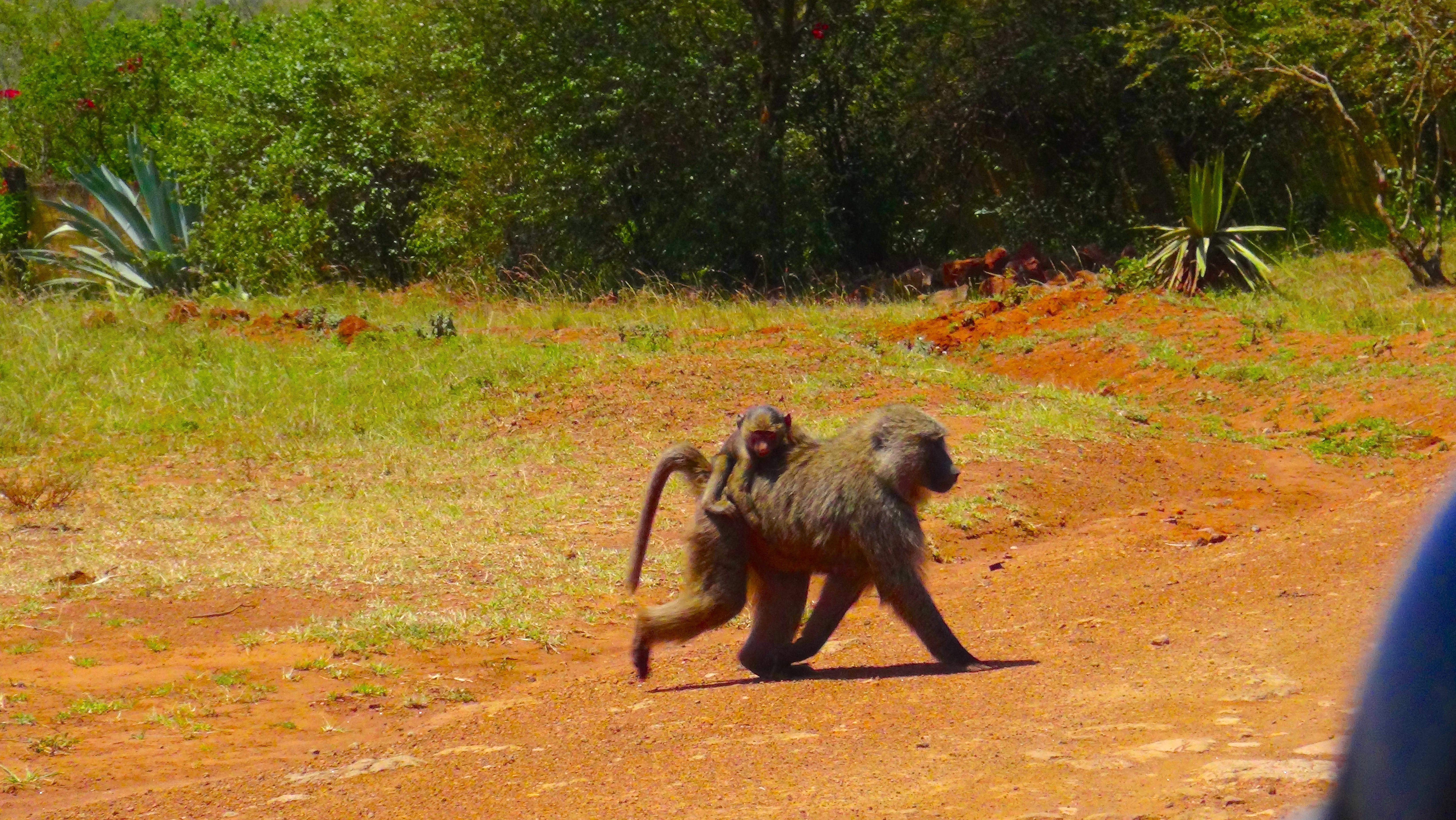 Une maman singe et son bébé