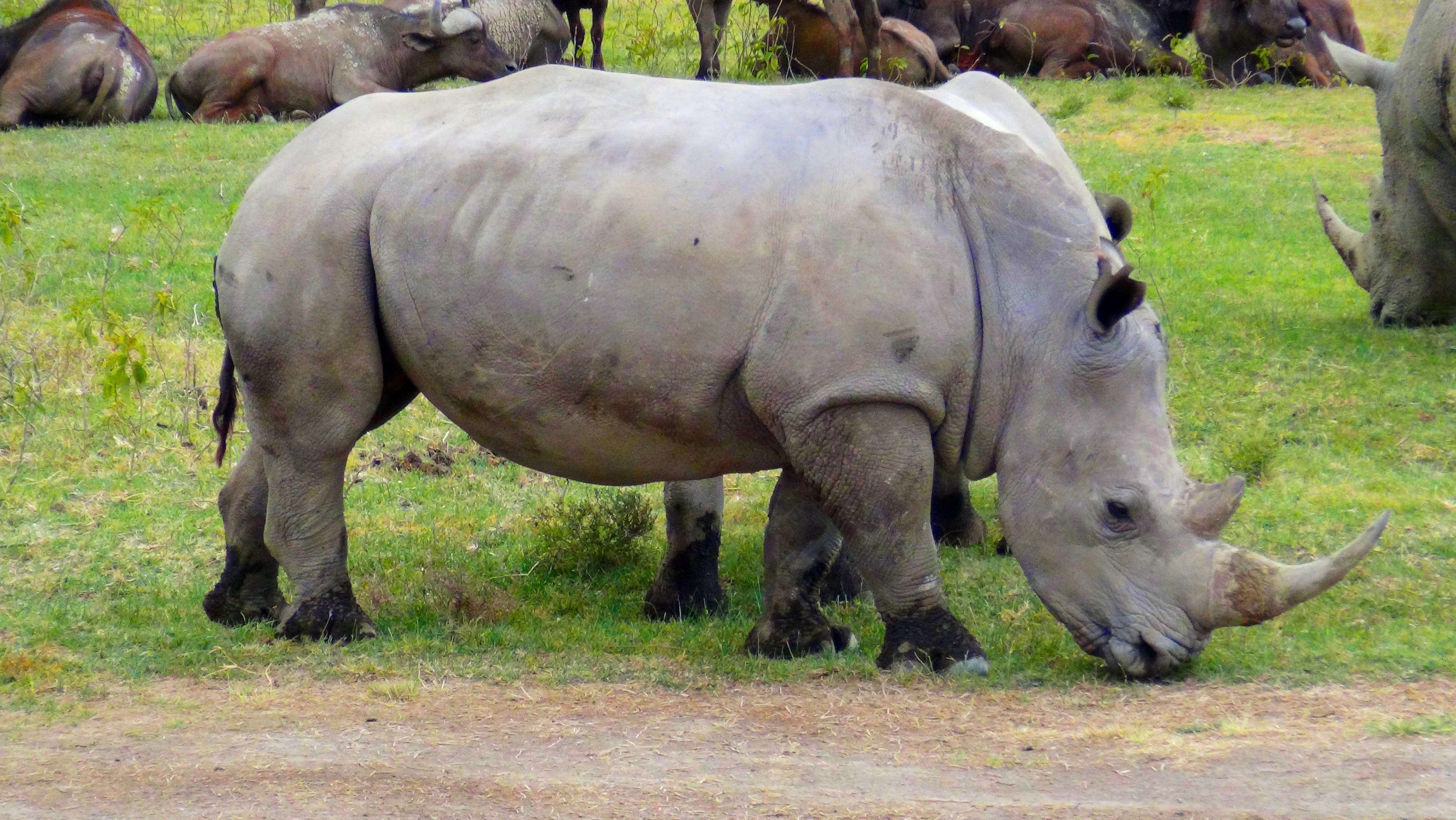 Nakuru – Rhino