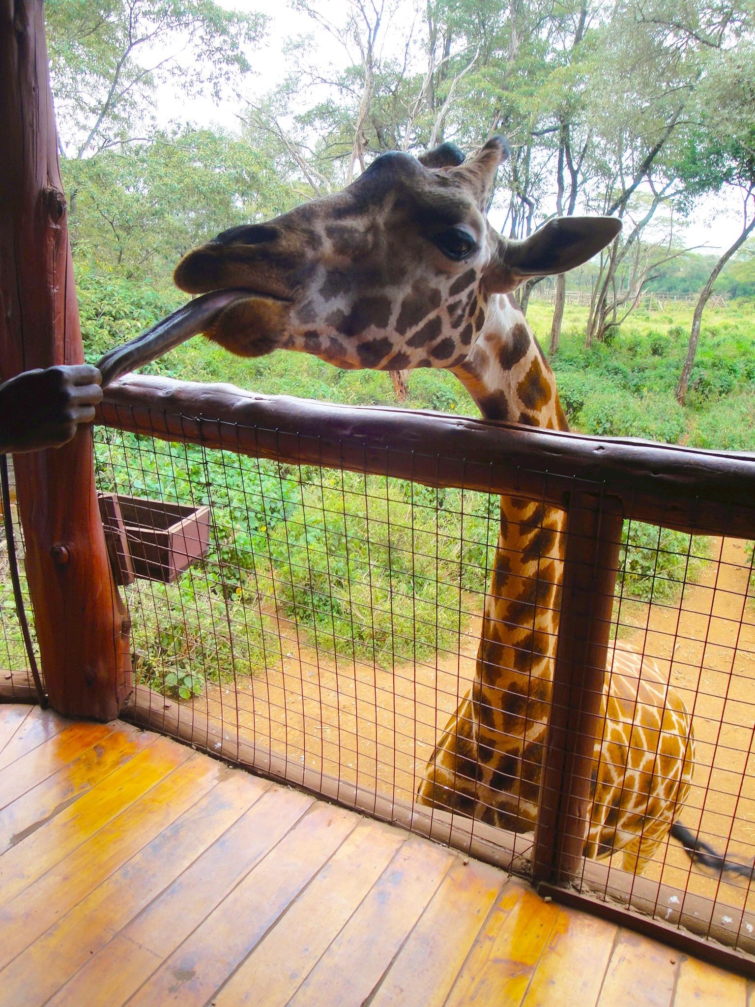 Giraffe centre – Nairobi
