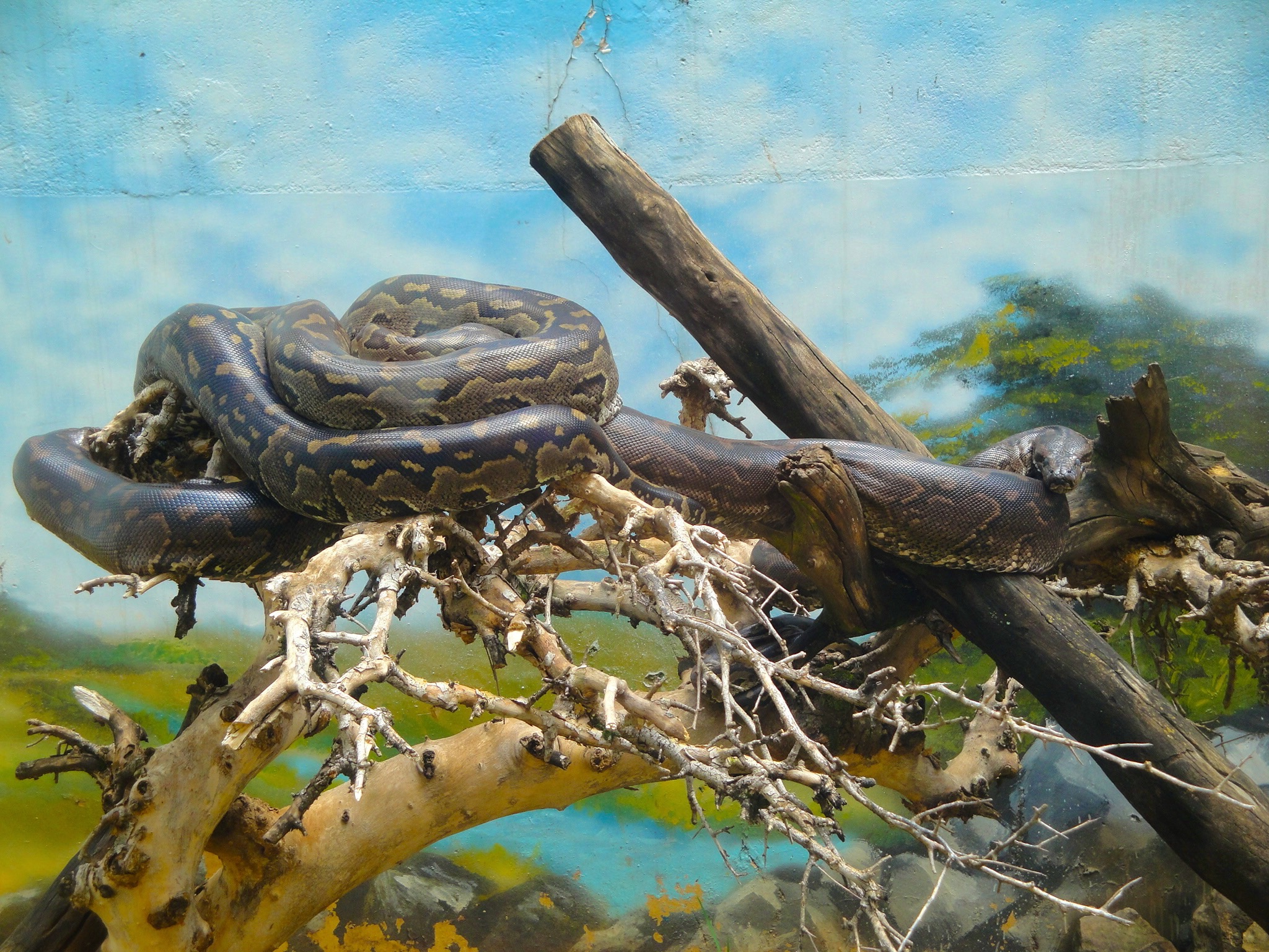 Serpent Africain