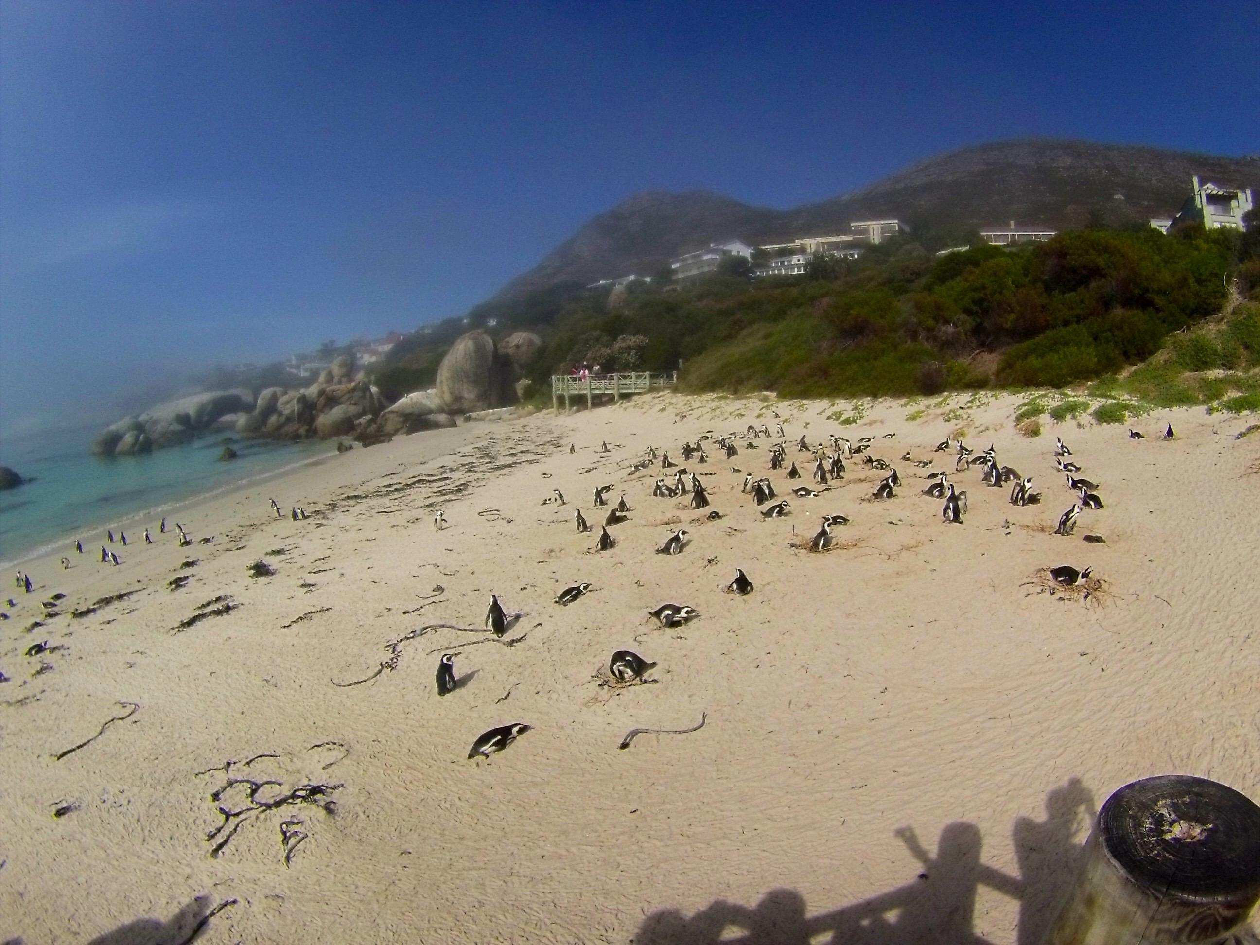 Les pingouins d'Afrique du Sud