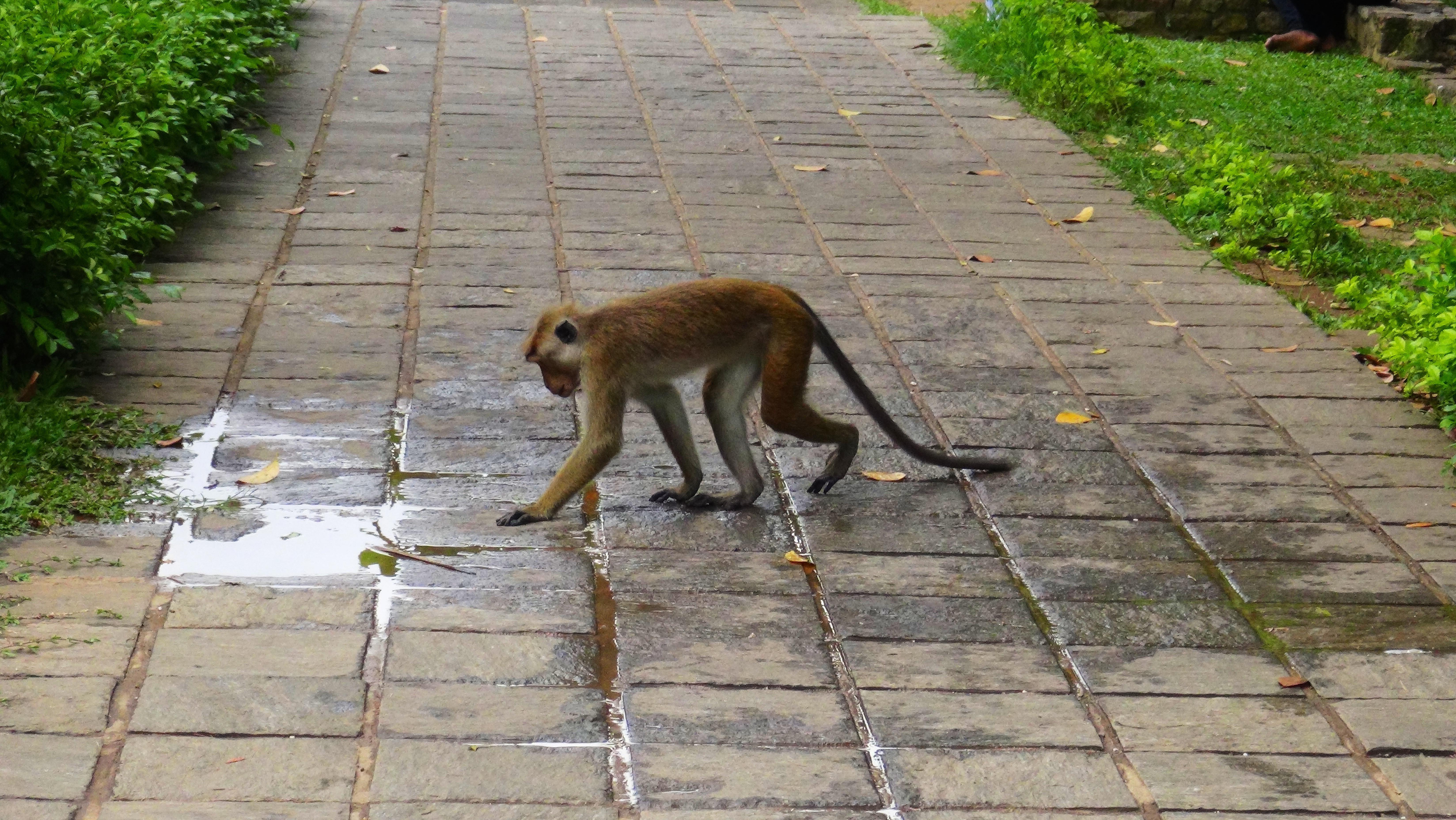Les singes sont partout – Kandy